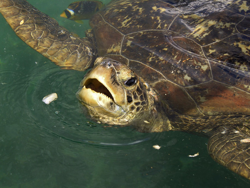 Sea Turtle Feeding