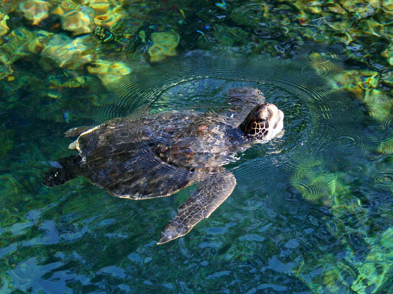 Sea Turtles in Captivity