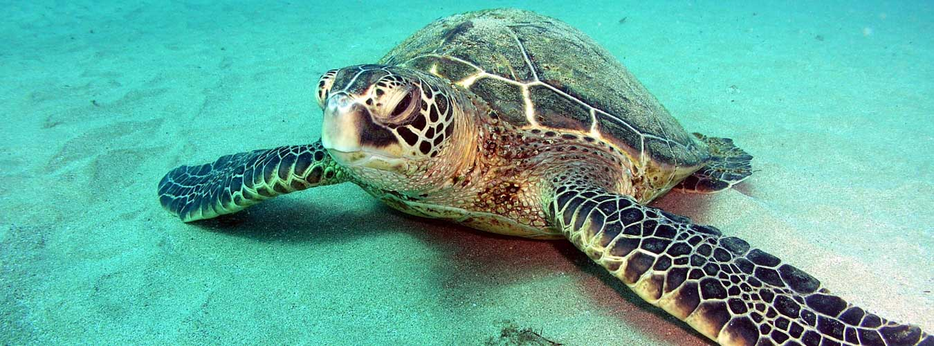 seaturtle_facts4 | Sea Turtle Facts and Information