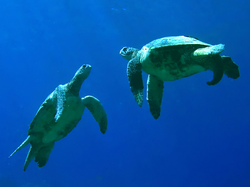 Sea Turtle Social Structure - Sea Turtle Facts and Information