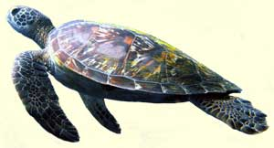top sea turtlle facts