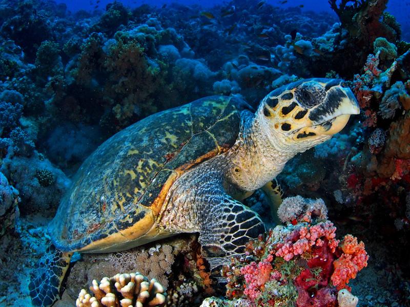 Características de la tortuga carey.