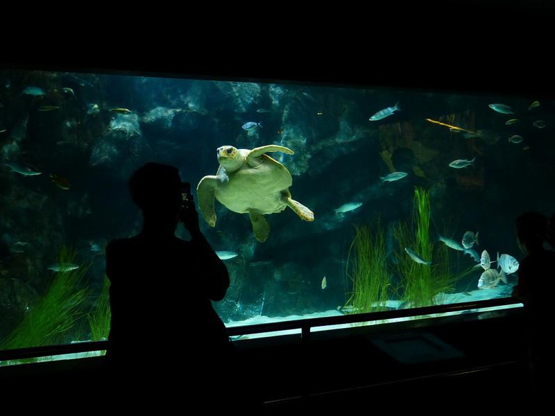 Tortugas marinas en acuarios.
